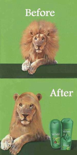 An advert featuring a lion with a big mane titled 'before' and beneath a lion with a glossy, sleek mane that looks like styled women's hair with the caption 'after', advertising shampoo.